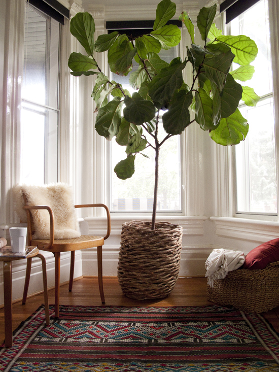 Reader Query: Where to Find Fiddle Leaf Figs in Perth | House Nerd on house plants design, house plants books, house plants outdoors, house plants food, house plants house, house plants that clean the air, house plants flowers, house plants low light, house plants guide, house plants dogs, house plants gifts, house plants pets, house plants care, house plants with long green leaves, house plants blog,